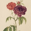 Roses évêques