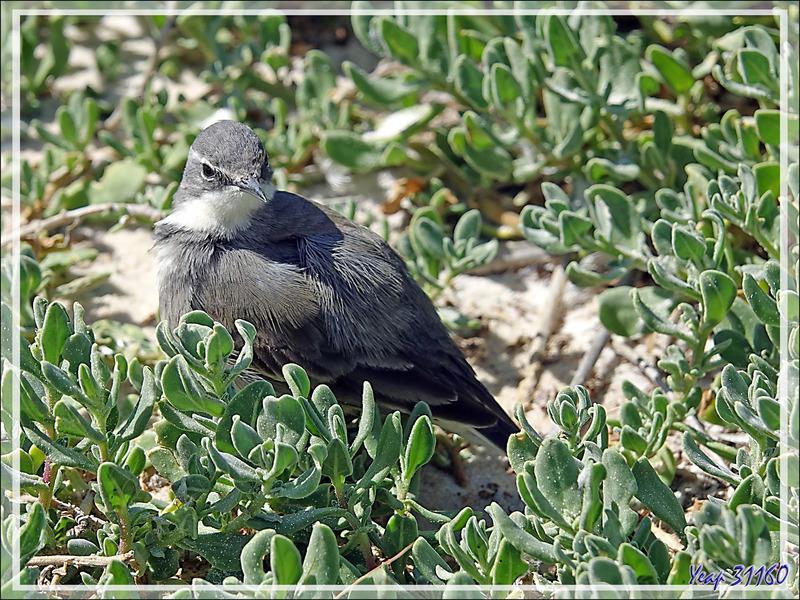 Bergeronnette du Cap, Cape Wagtail (Motacilla capensis) - Simon's Town - Afrique du Sud