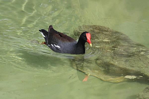 gallinule poule d'eau -2-