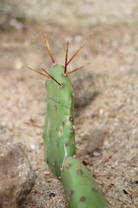 Opuntia Phaeacantha Paucispina - 2015