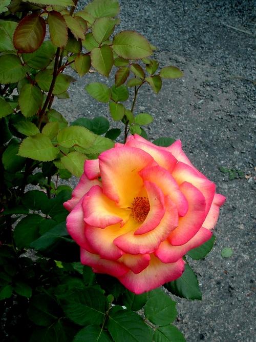 Saint Yrieix sous Aixe (87) : Suite et fin de sa 14ème édition de la Fête de la Rose. Diaporama 3/3