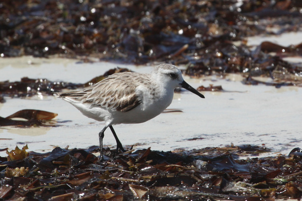 Bécasseau sanderling - Praslin
