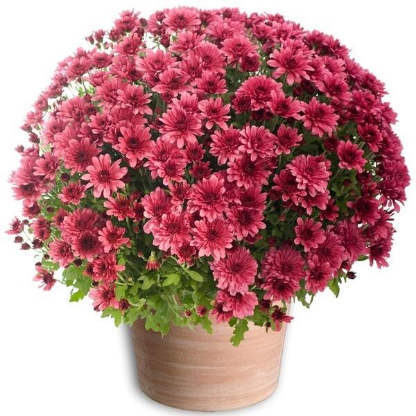Le temps des chrysanthèmes