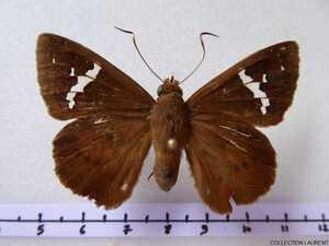 Hespiridae non déterminés