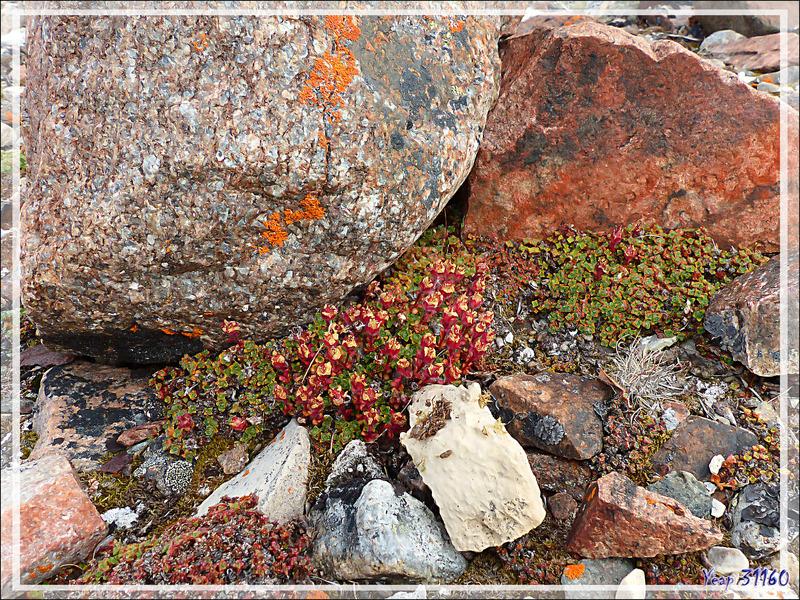Saxifrage à feuilles opposées, Purple saxifrage (Saxifraga oppositifolia) - Fort Ross - Somerset Island - Nunavut - Canada