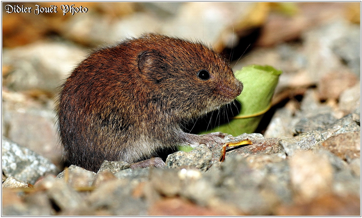 Mulot Sylvestre (1) - Apodemus sylvaticus