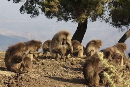 Les géladas vivent en horde et se nourrissent principalement de graminées, de brins d'herbe et de jeunes pousses, parfois en creusant la terre, ce qui peut déloger des rongeurs par la suite capturés par des loups d'Éthiopie. © Donald Macauley, Wikimedia Commons, cc by sa 2.0