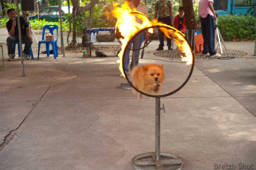 Dusit, un zoo au coeur de Bangkok -  Des numéros de chiens sont inattendus dans un zoo