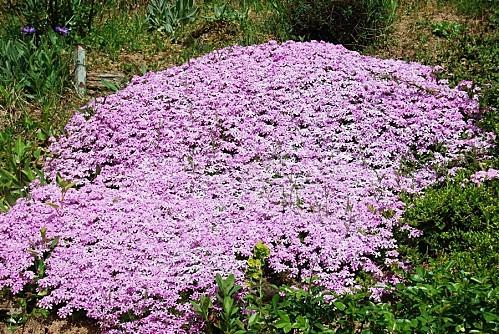 Phlox subulata rose