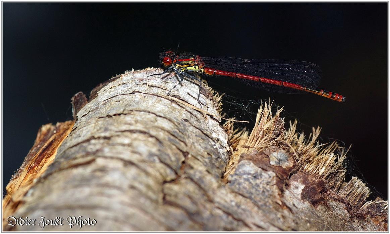 Petite Nymphe au Corps de Feu / Pyrrhosoma nymphula