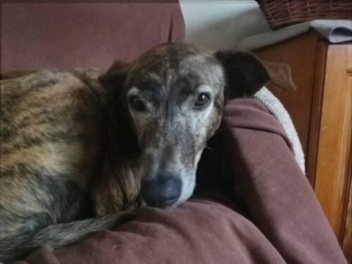 Quel triste destin que de ne pas avoir sa famille adoptante / SOS Podenco Rescue