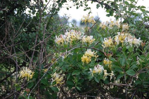 Vertus médicinales des plantes sauvages : Chèvrefeuille des bois