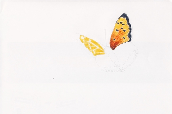Le Cuivré commun ou Bronzé  (Lycaena phlaeas)  Lycaenidae