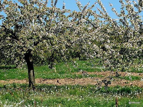 balade des cerisiers avril 2011 022