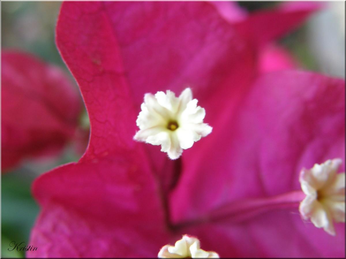 Bougainville Fleur intérieur bougainvillé en fleur - jardin, chats et animaux