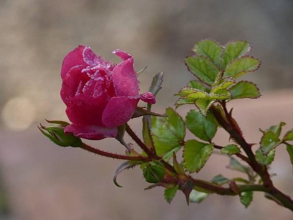 Rose Emera givrée 1