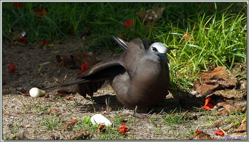 """Bain de soleil pour le Noddi brun """"makwa"""" (Anous stolidus) - Bird Island - Seychelles"""