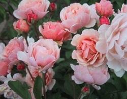 Nouveaux rosiers plantés cet automne
