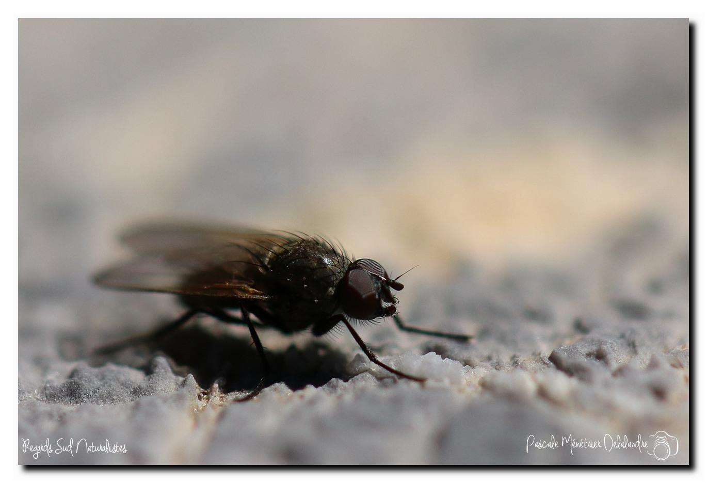 Muscidae azelia Sp. ♂