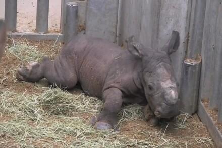 Sethemba, bébé rhinocéros blanc, né mardi 22 mars à Pairi Daiza