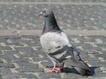 Sauvetage d'un pigeon
