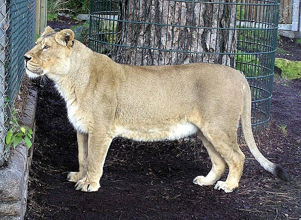 800px-Asiatic lioness arp