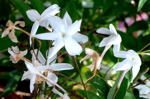 Fleurs blanches du jasmin