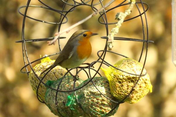 D'autres oiseaux ont visité mon jardin cet hiver...