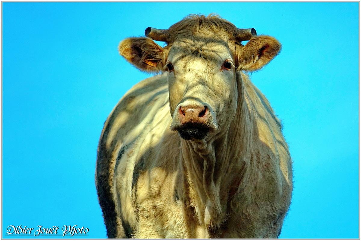 Vache (5)