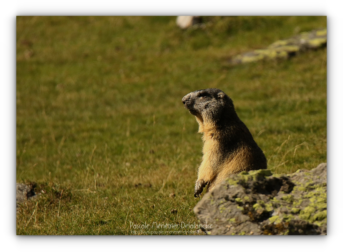 Marmottes des Alpes dans les Pyrénées.