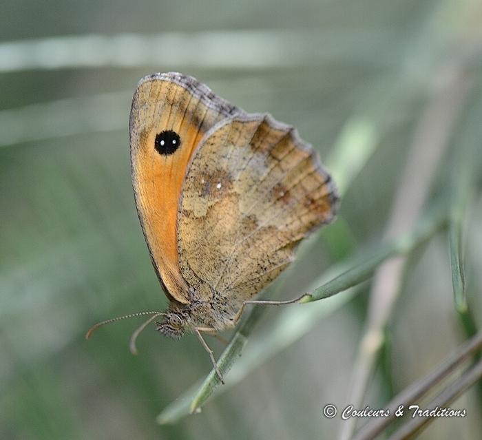Le Procris - Coenonympha Pamphilus