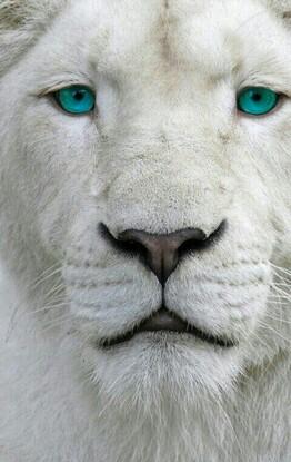 """Résultat de recherche d'images pour """"lionne yeux bleu"""""""