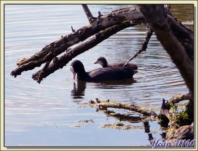Blog de images-du-pays-des-ours :Images du Pays des Ours (et d'ailleurs ...), Foulque macroule (Fulica atra) - La Couarde-sur-Mer - Ile de Ré - 17