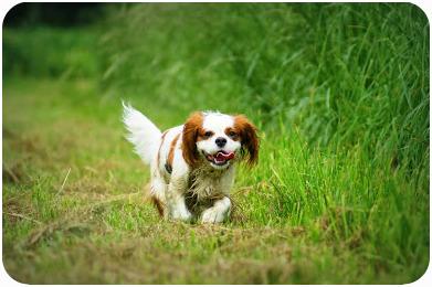 L'éternuement inversé chez le chien