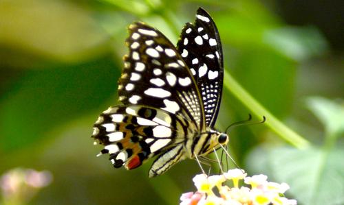 Papillon de l'ile (6)