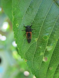 Les coccinnelles en larves.....comment les reconnaitre?
