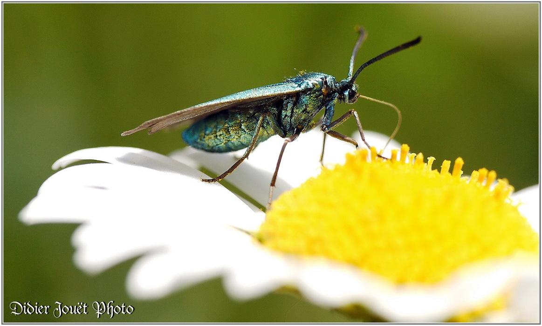 Turquoise / Adscita statices