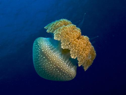 Beauté extraordinaire du plancton