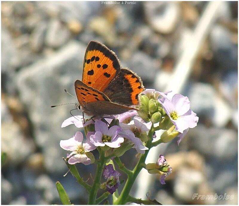 Papillons le cuivré