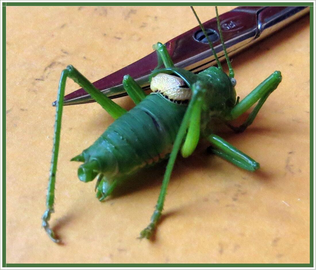 Une curieuse sauterelle