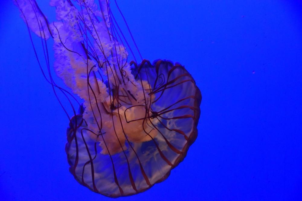 Le ballet des méduses à l'Aquarium de La Rochelle...