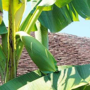 La hampe florale du Bananier se courbe par le poid du bourgeon - 24 Juillet 2014