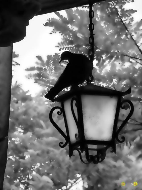 Pigeon vole.