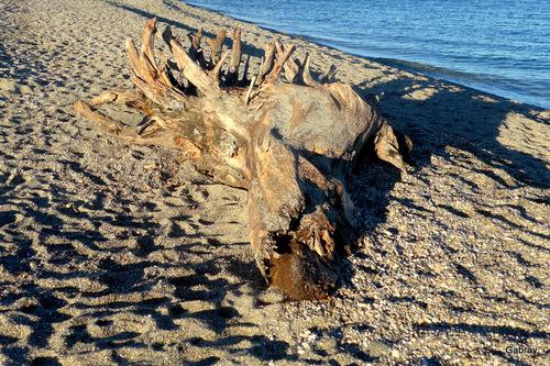Le Barcarès : tronc échoué sur la plage ...