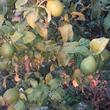 Mon citronnier (Fin octobre 2016) - 1
