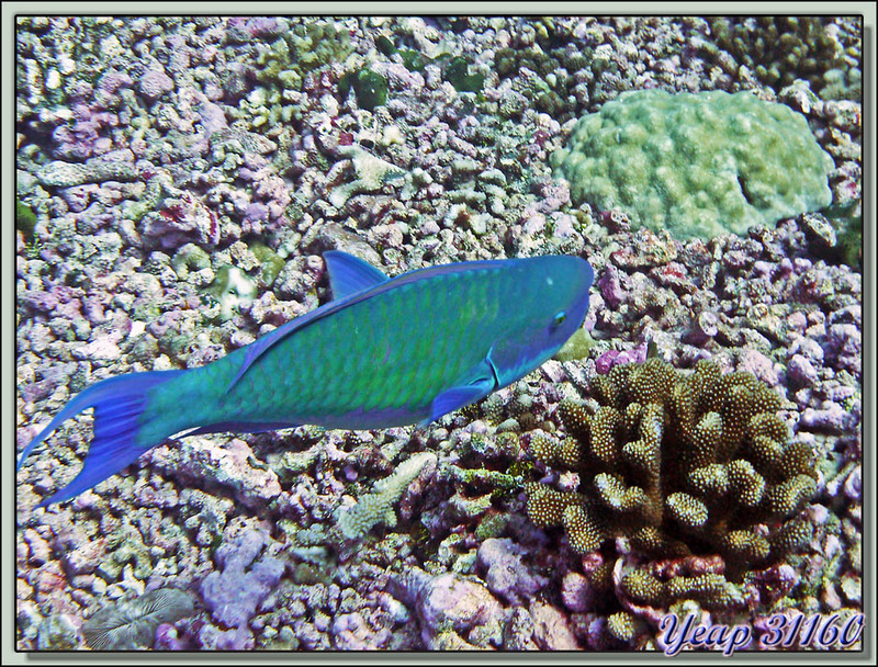Poisson-perroquet grand bleu, indian ocean steephead parrotfish (Chlorurus strongylocephalus) - Passe d'Avatoru - Rangiroa - Tuamotu - Polynésie française