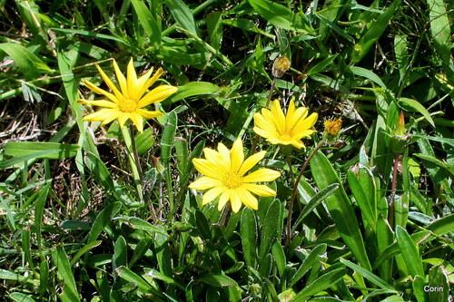 Les fleurs jaune des gazanias