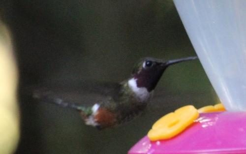 Les colibris du Costa Rica