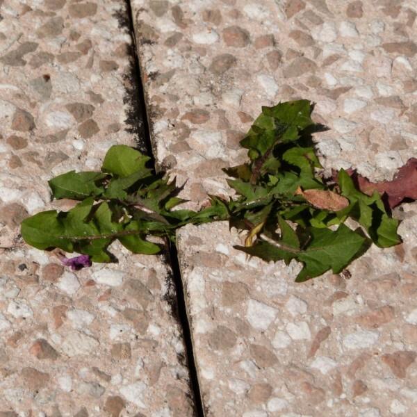 pissenlit-entre-les-dalles-de-la-terrasse.jpg