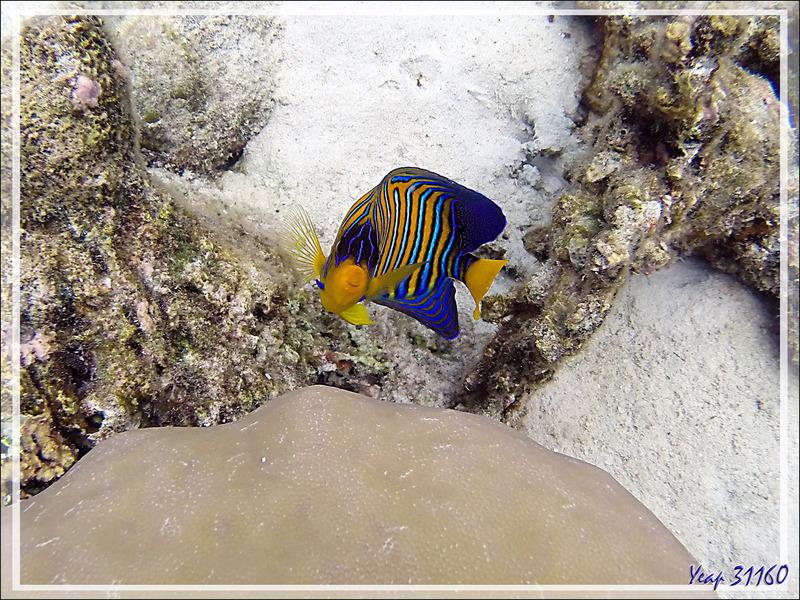 Snorkeling : Poisson-ange royal, Holacanthe duc, Royal angelfish, Regal angelfish (Pygoplites diacanthus) - Moofushi - Atoll d'Ari - Maldives